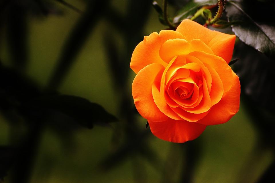 بالصور صور ورد جميل جدا , اروع ما شافت عيني من الزهور 2009 9