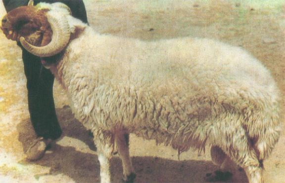 بالصور صور خروف العيد , هلت لياليك حلوة وجميلة 1937 3