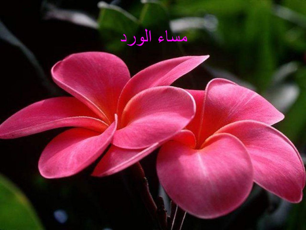 صورة صور عن المساء , مسي علي الحبايب بعطر الورد