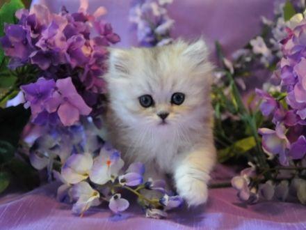بالصور صور قطط جميلة , اجمل الحيوانات 2126 3