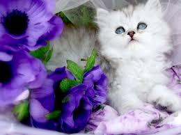 بالصور صور قطط جميلة , اجمل الحيوانات 2126 4