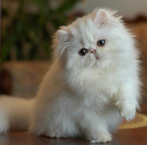 بالصور صور قطط جميلة , اجمل الحيوانات 2126 7