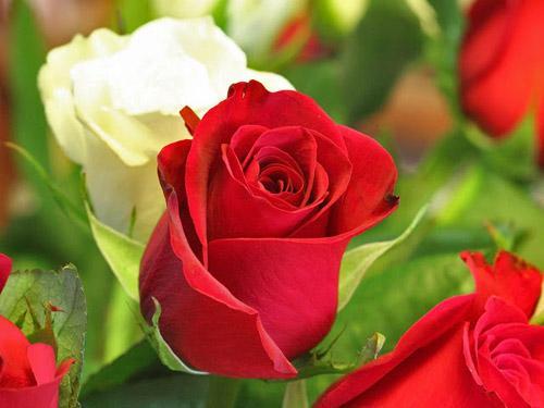 بالصور صور ورود جميله , شوف الزهور واتعلم اجمل لغة بين العشاق 2207 5