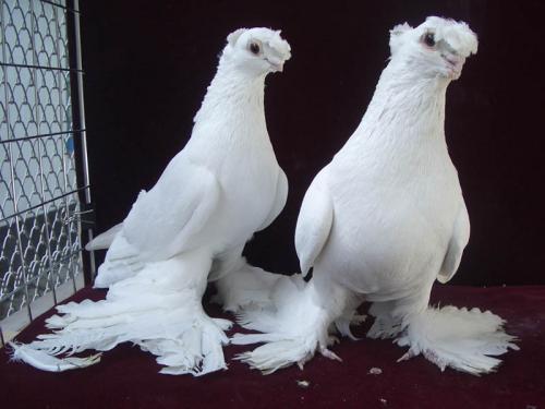 صوره صور طيور حمام , يا جمالو و هو بيرفرفر و يطير بجناحتة