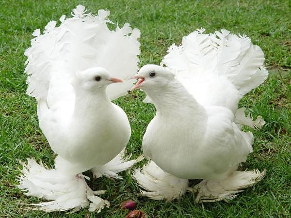 صورة صور طيور حمام , يا جمالو و هو بيرفرفر و يطير بجناحتة