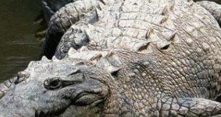 بالصور تفسير حلم عض التمساح , تفسير رؤية التمساح في المنام 4281 1 310x165