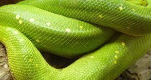 بالصور رايت ثعبان اخضر كبير يخرج من فمي , رؤيه الثعبان الاخضر فى الحلم 4288 1.jpeg 310x165