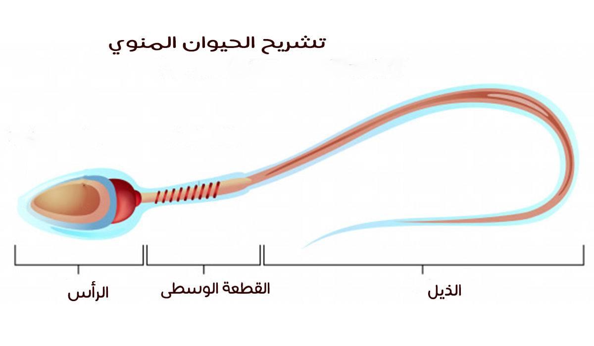 صور نسبة حركة الحيوان المنوى 30 , قراءة تحليل سائل منوى بنسبة معينة