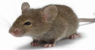 الفار في الحلم , رؤية الفئران في المنام