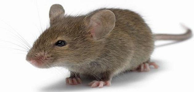 صورة الفار في الحلم , رؤية الفئران في المنام