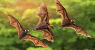 صورة حلمت بخفاش ارجو تفسرون حلمي سريعا وظروري , رؤيه الخفاش في المنام